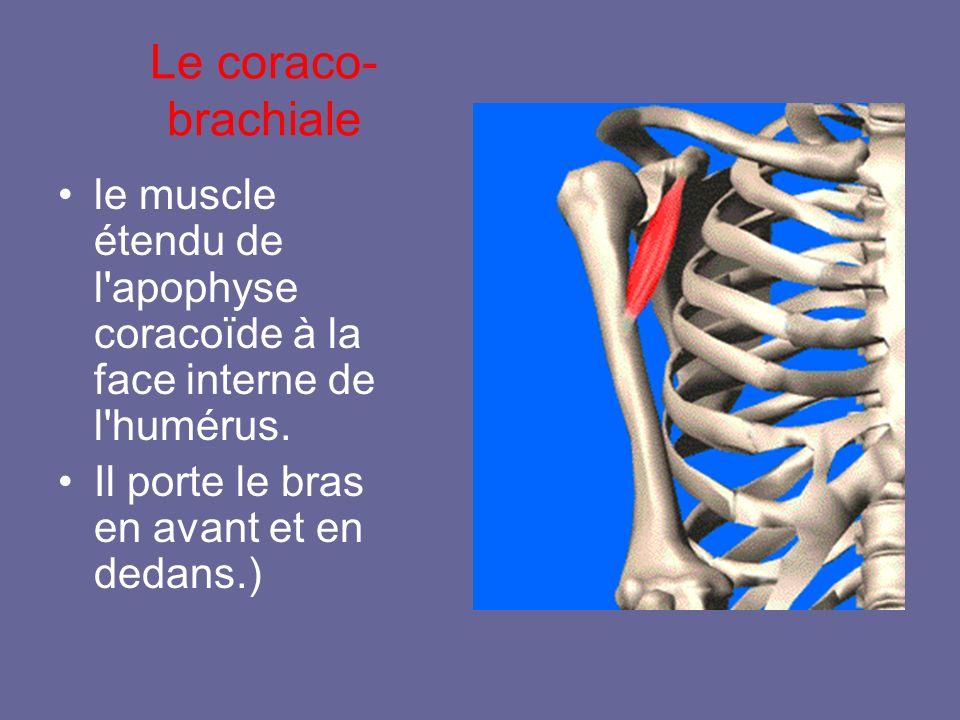 Le coraco-brachiale le muscle étendu de l apophyse coracoïde à la face interne de l humérus.