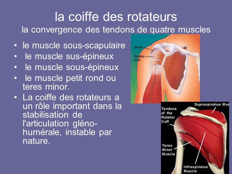 la coiffe des rotateurs la convergence des tendons de quatre muscles