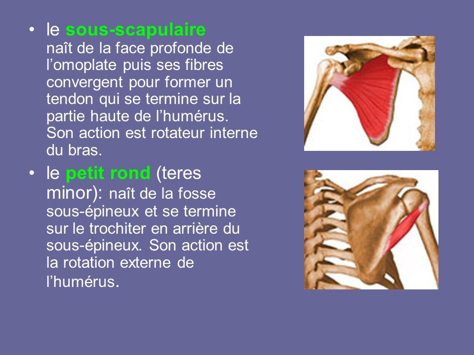 le sous-scapulaire naît de la face profonde de l'omoplate puis ses fibres convergent pour former un tendon qui se termine sur la partie haute de l'humérus. Son action est rotateur interne du bras.