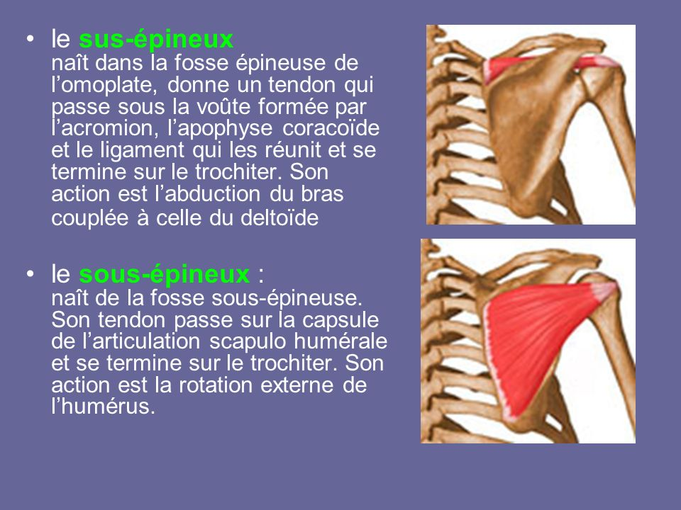 le sus-épineux naît dans la fosse épineuse de l'omoplate, donne un tendon qui passe sous la voûte formée par l'acromion, l'apophyse coracoïde et le ligament qui les réunit et se termine sur le trochiter. Son action est l'abduction du bras couplée à celle du deltoïde