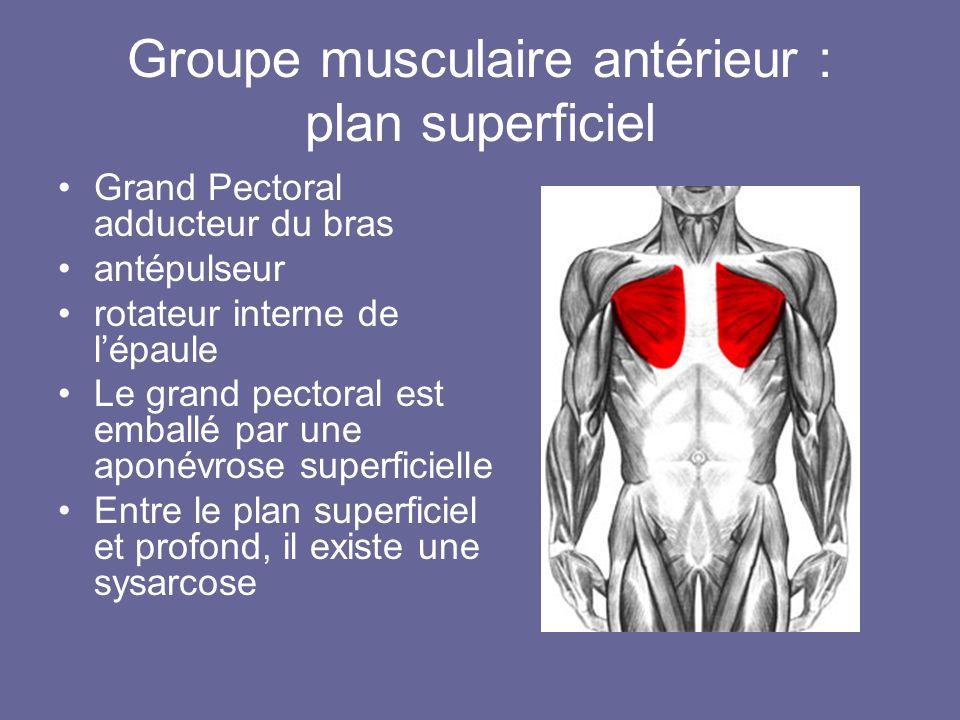 Groupe musculaire antérieur : plan superficiel