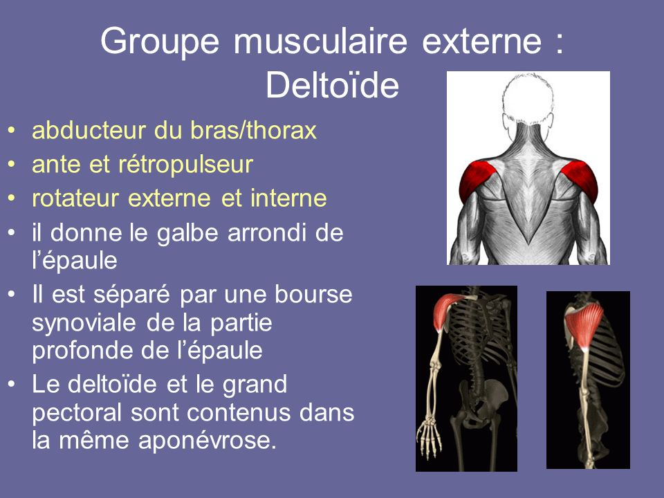 Groupe musculaire externe : Deltoïde