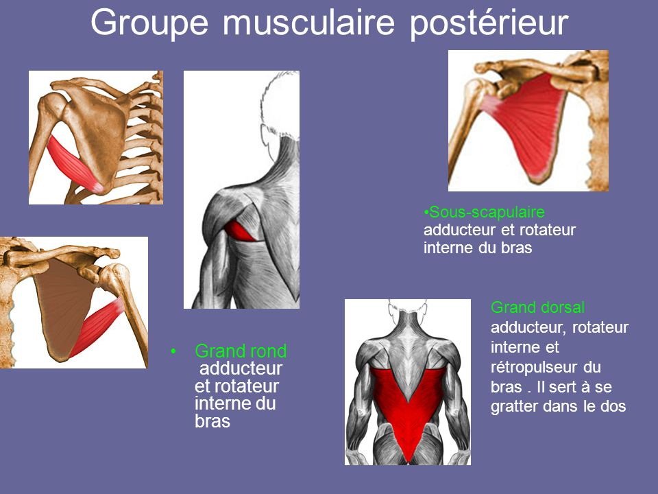 Groupe musculaire postérieur