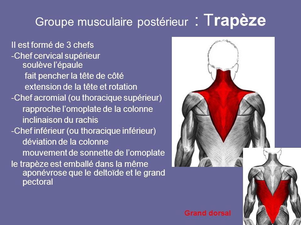 Groupe musculaire postérieur : Trapèze