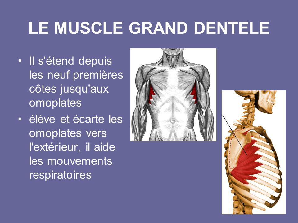 LE MUSCLE GRAND DENTELE
