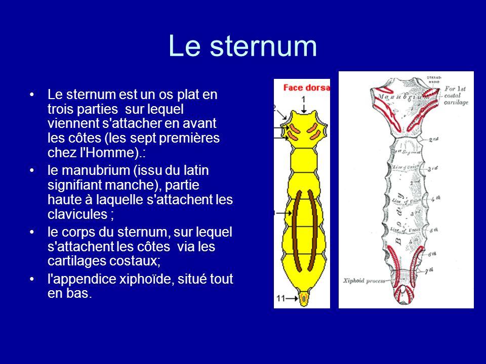 Le sternum Le sternum est un os plat en trois parties sur lequel viennent s attacher en avant les côtes (les sept premières chez l Homme).:
