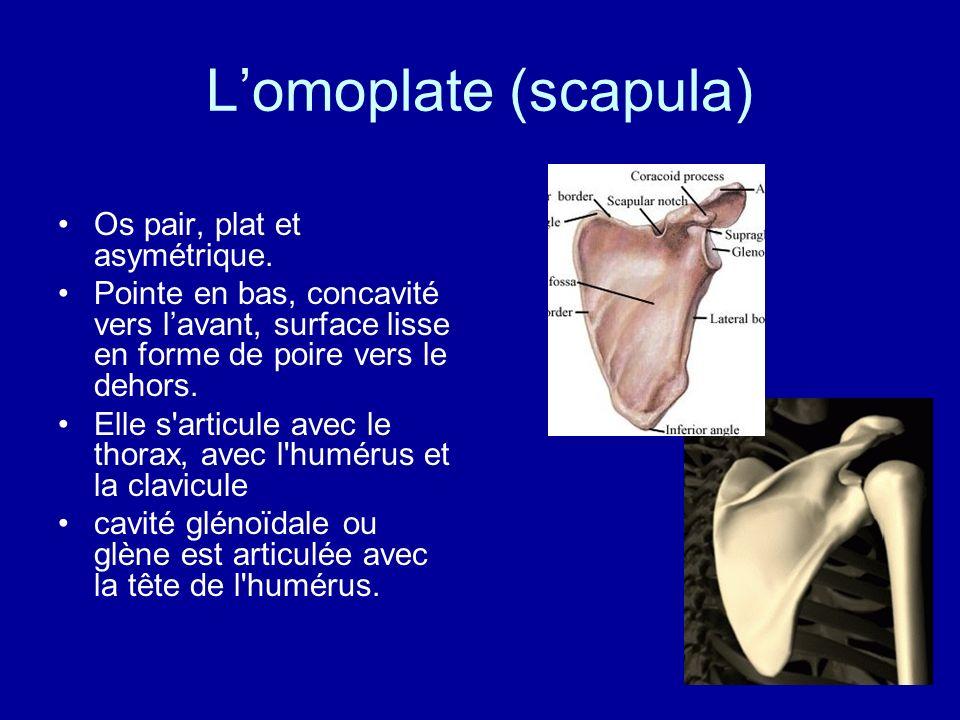 L'omoplate (scapula) Os pair, plat et asymétrique.