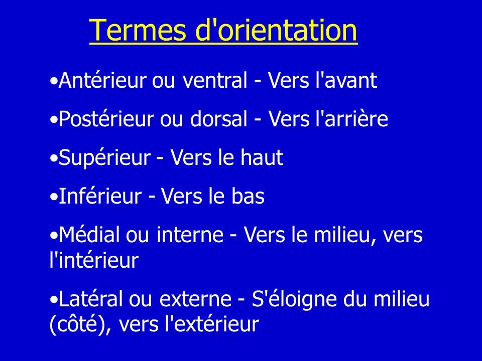 Termes d orientation Antérieur ou ventral - Vers l avant
