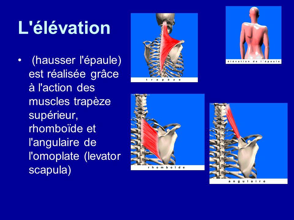 L élévation (hausser l épaule) est réalisée grâce à l action des muscles trapèze supérieur, rhomboïde et l angulaire de l omoplate (levator scapula)
