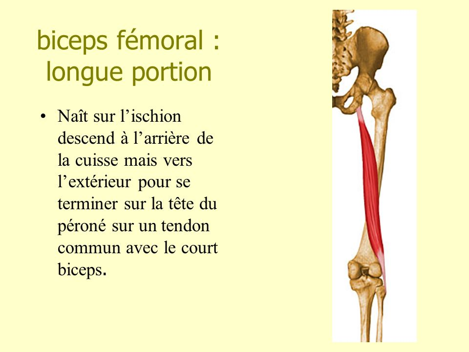 Les muscles de la cuisse ppt video online t l charger for Exterieur biceps