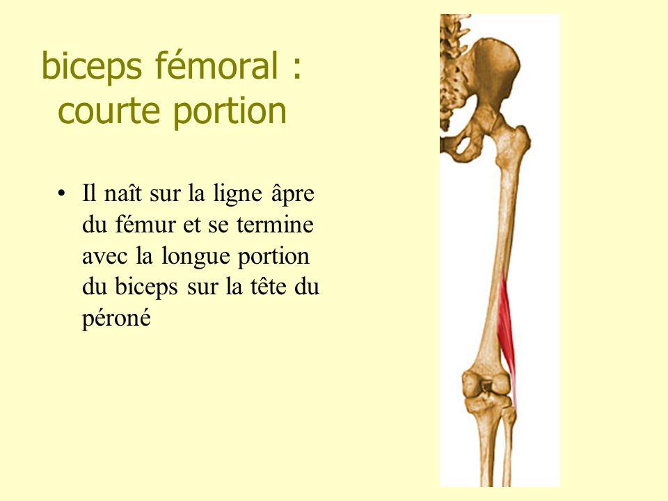 biceps fémoral : courte portion