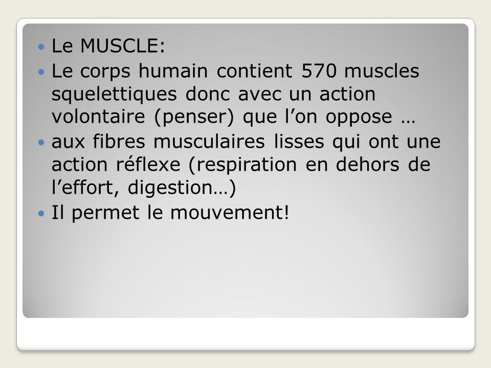 Le MUSCLE: Le corps humain contient 570 muscles squelettiques donc avec un action volontaire (penser) que l'on oppose …
