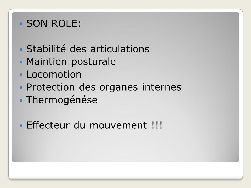 SON ROLE: Stabilité des articulations. Maintien posturale. Locomotion. Protection des organes internes.