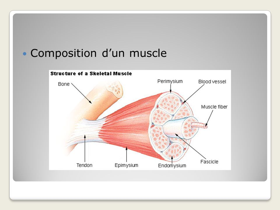 Composition d'un muscle
