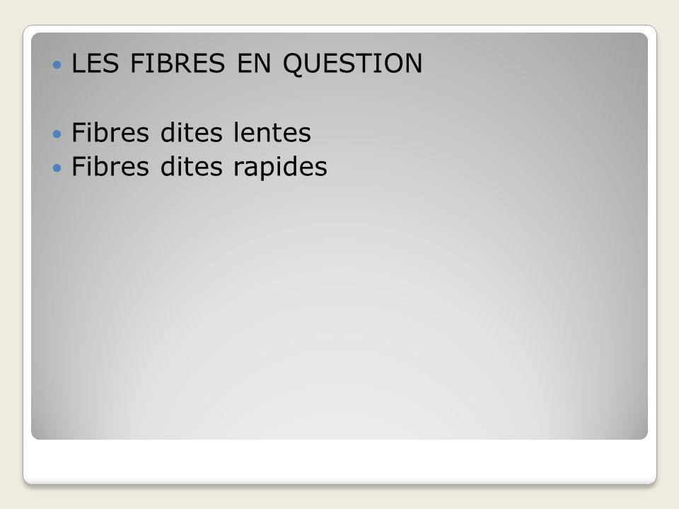 LES FIBRES EN QUESTION Fibres dites lentes Fibres dites rapides