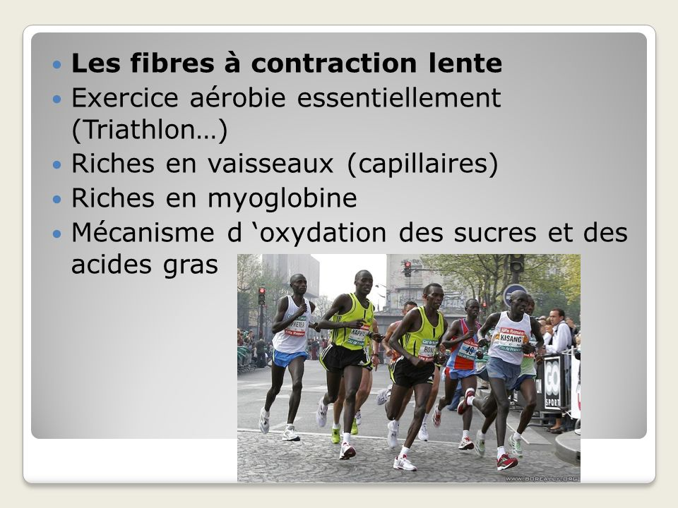 Les fibres à contraction lente