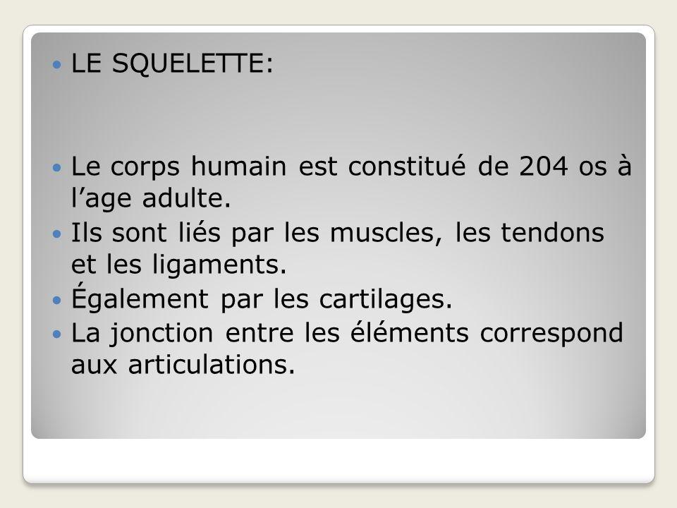 LE SQUELETTE: Le corps humain est constitué de 204 os à l'age adulte. Ils sont liés par les muscles, les tendons et les ligaments.