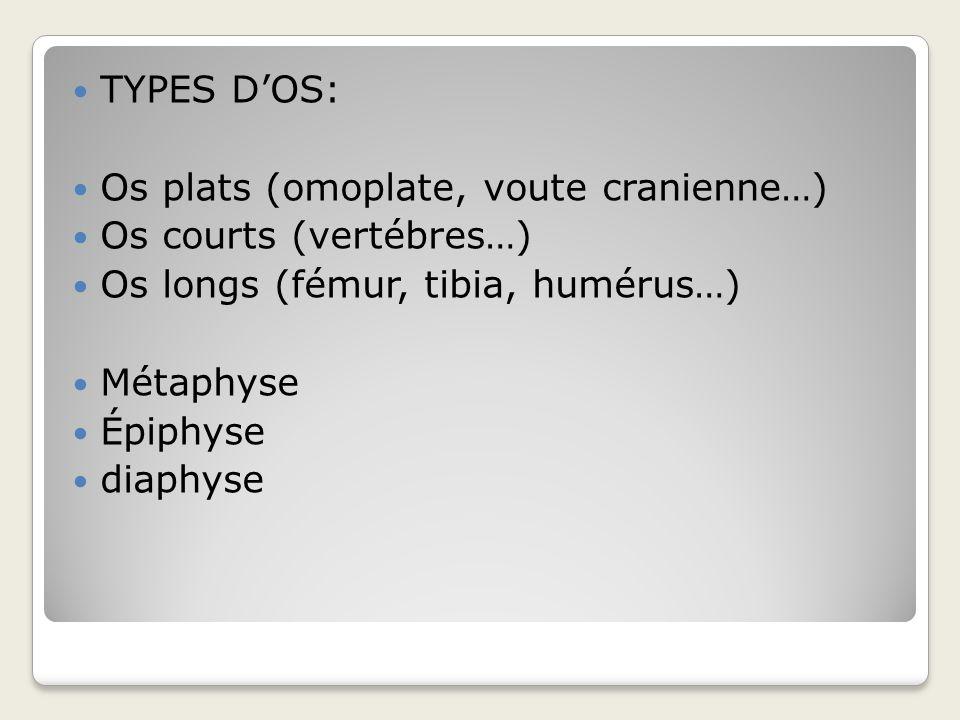 TYPES D'OS: Os plats (omoplate, voute cranienne…) Os courts (vertébres…) Os longs (fémur, tibia, humérus…)