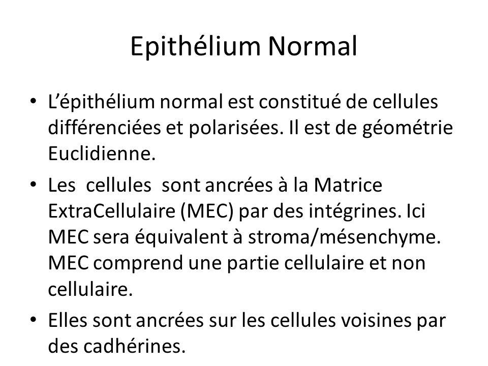 Epithélium Normal L'épithélium normal est constitué de cellules différenciées et polarisées. Il est de géométrie Euclidienne.