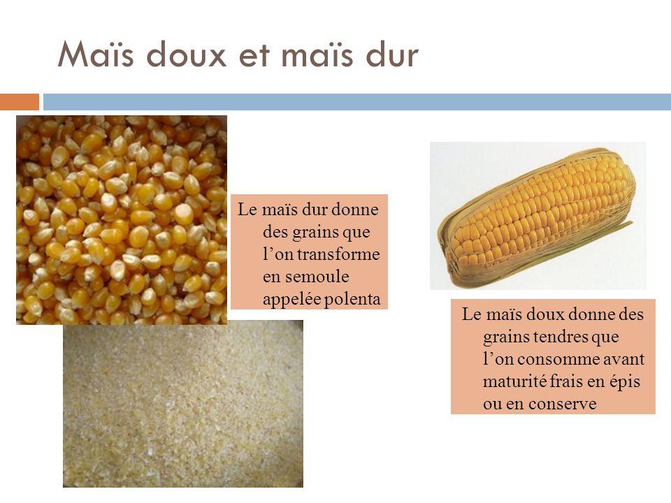 Maïs doux et maïs dur Le maïs dur donne des grains que l'on transforme en semoule appelée polenta.