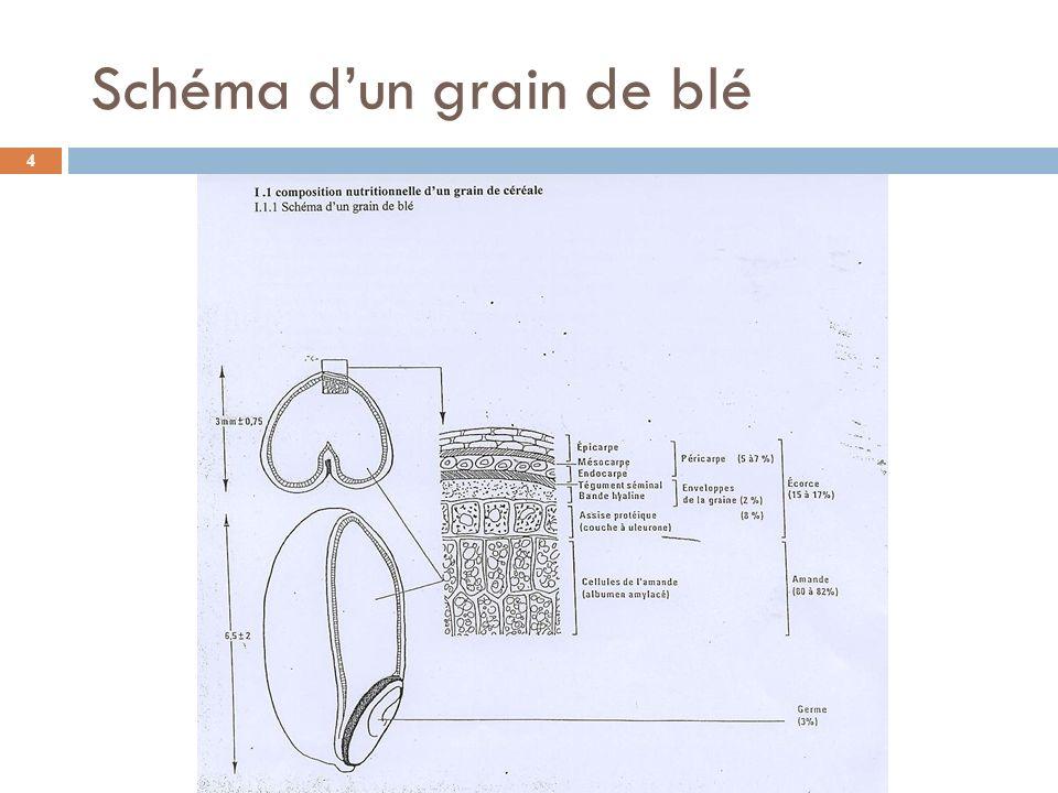 Schéma d'un grain de blé
