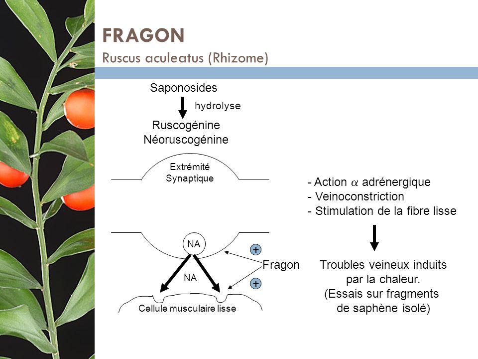 FRAGON Ruscus aculeatus (Rhizome)