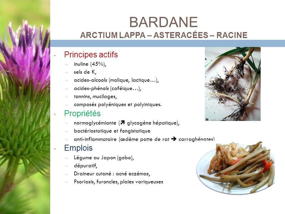 BARDANE ARCTIUM LAPPA – ASTERACÉES – RACINE