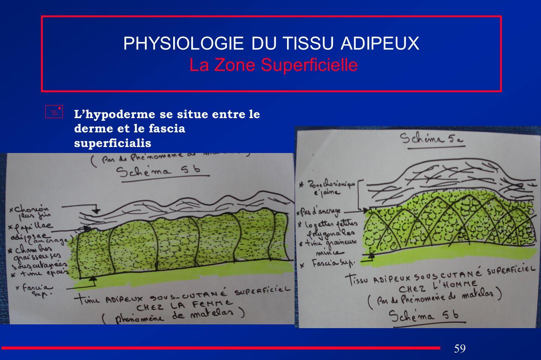 PHYSIOLOGIE DU TISSU ADIPEUX La Zone Superficielle
