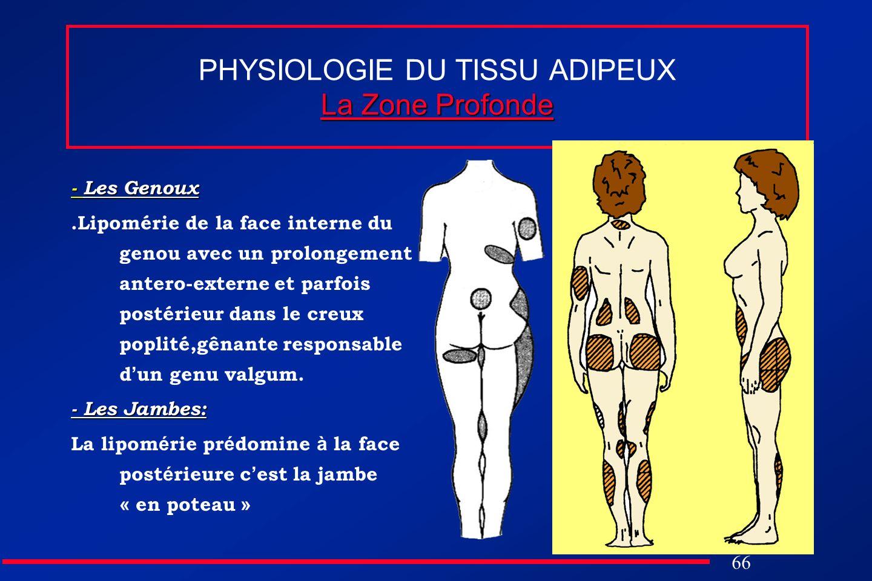 PHYSIOLOGIE DU TISSU ADIPEUX La Zone Profonde