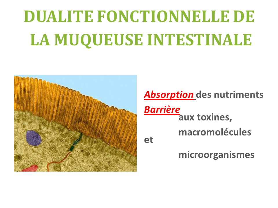 DUALITE FONCTIONNELLE DE LA MUQUEUSE INTESTINALE