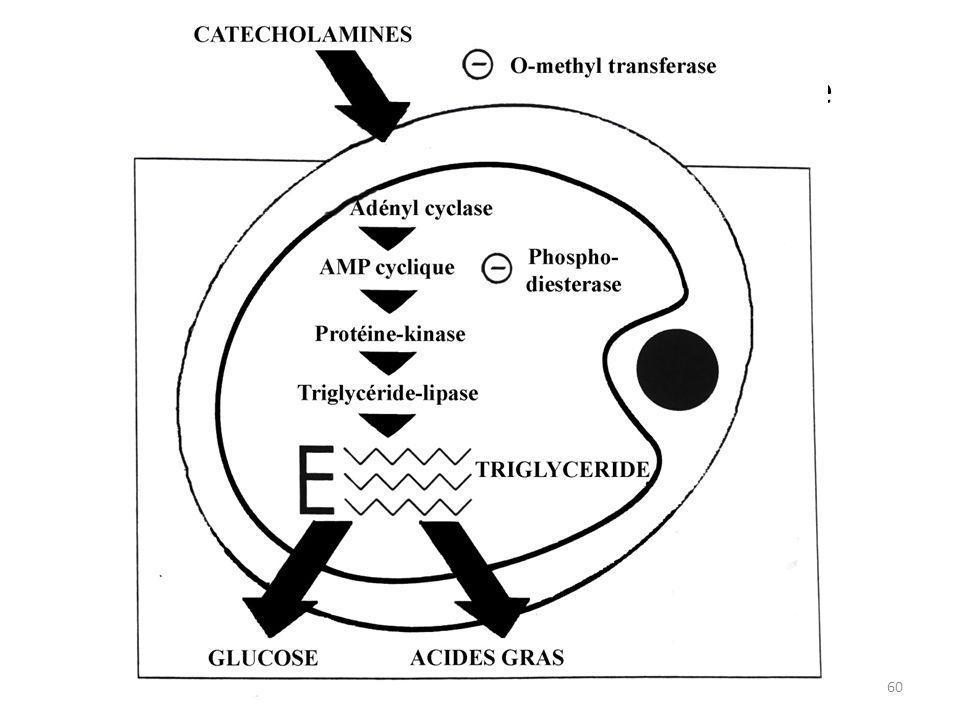XV. Mécanisme de la lipolyse