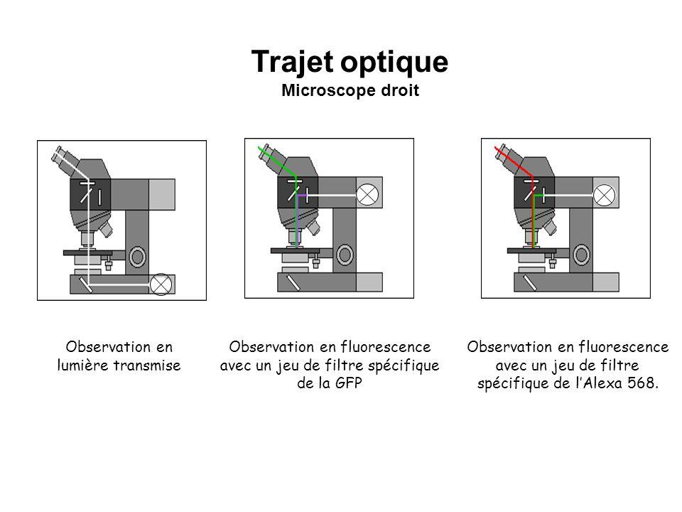 Trajet optique Microscope droit Observation en lumière transmise
