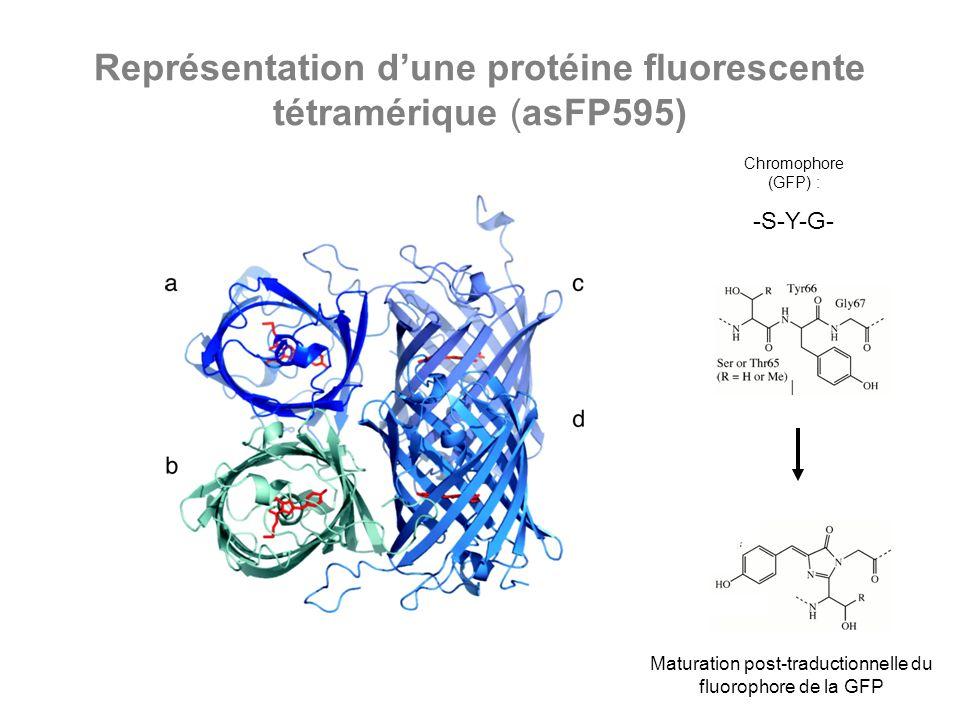 Représentation d'une protéine fluorescente tétramérique (asFP595)