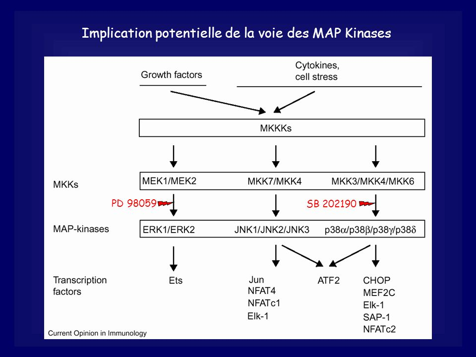 Implication potentielle de la voie des MAP Kinases