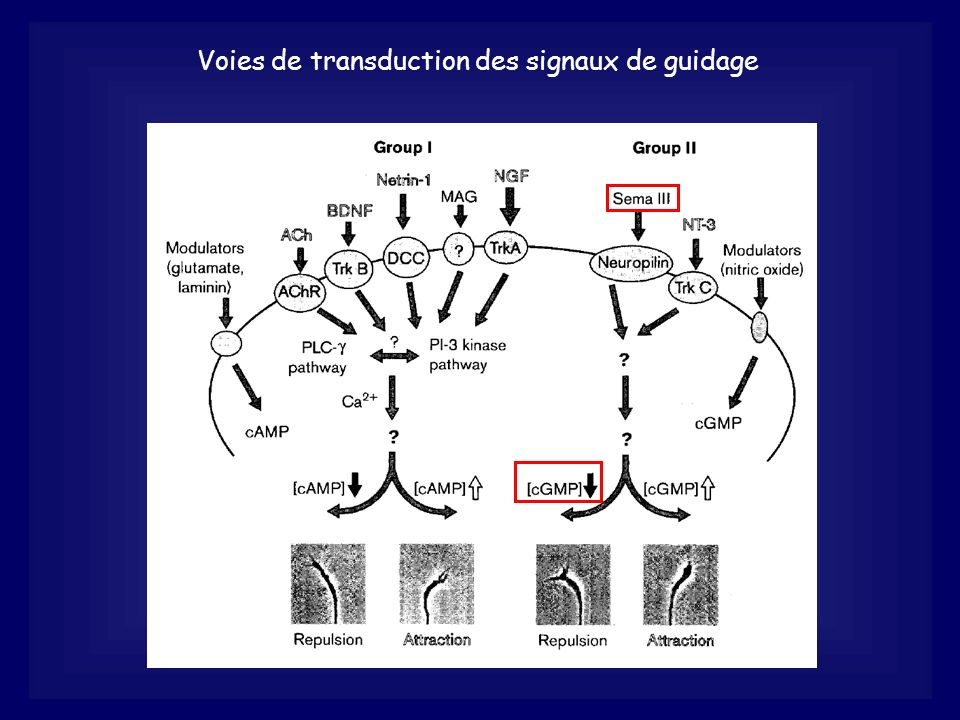 Voies de transduction des signaux de guidage