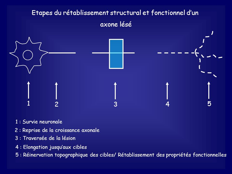 Etapes du rétablissement structural et fonctionnel d'un