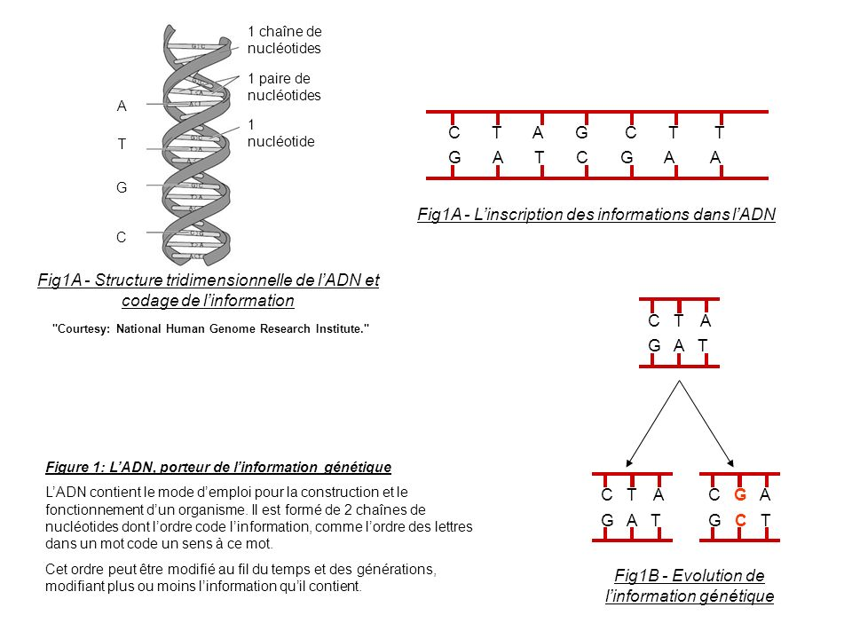 Fig1A - L'inscription des informations dans l'ADN
