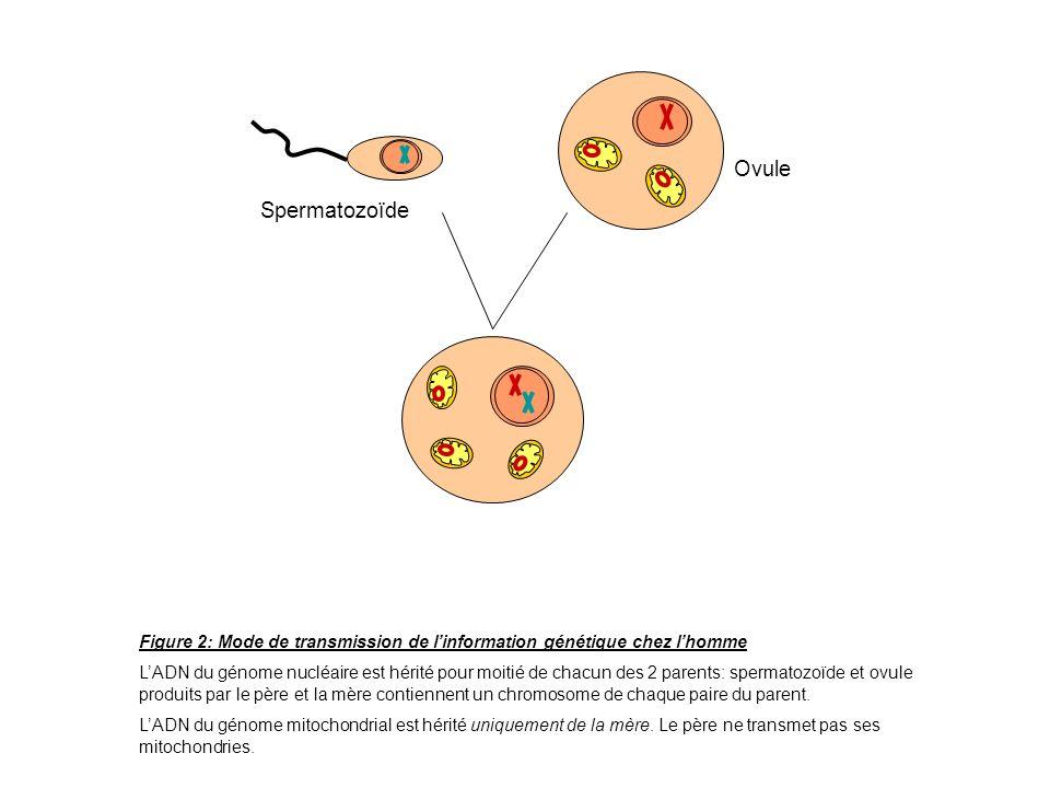 Spermatozoïde Ovule. Figure 2: Mode de transmission de l'information génétique chez l'homme.