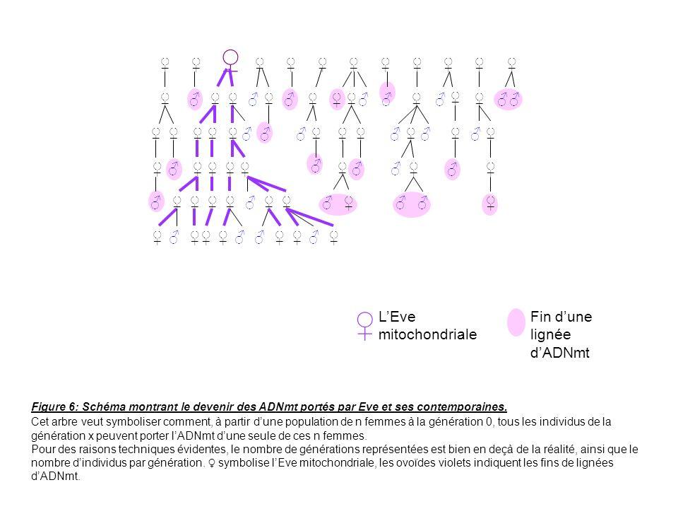 ♀ ♂ ♀ L'Eve mitochondriale Fin d'une lignée d'ADNmt