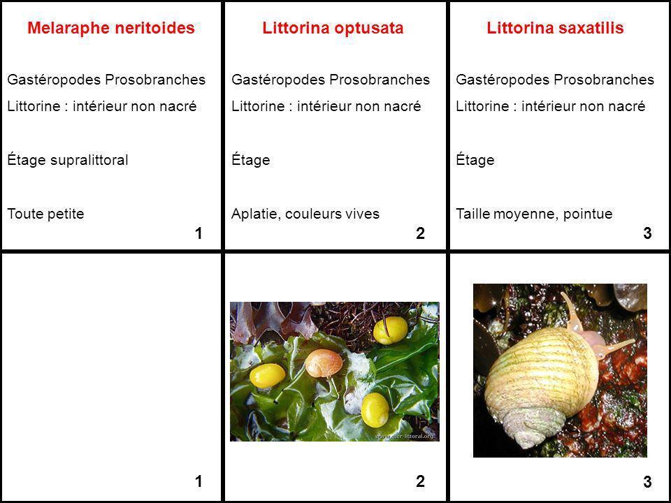 Melaraphe neritoides Littorina optusata Littorina saxatilis