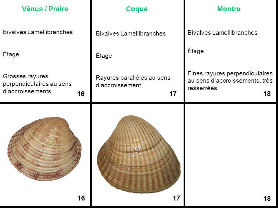 Vénus / Praire Coque Montre
