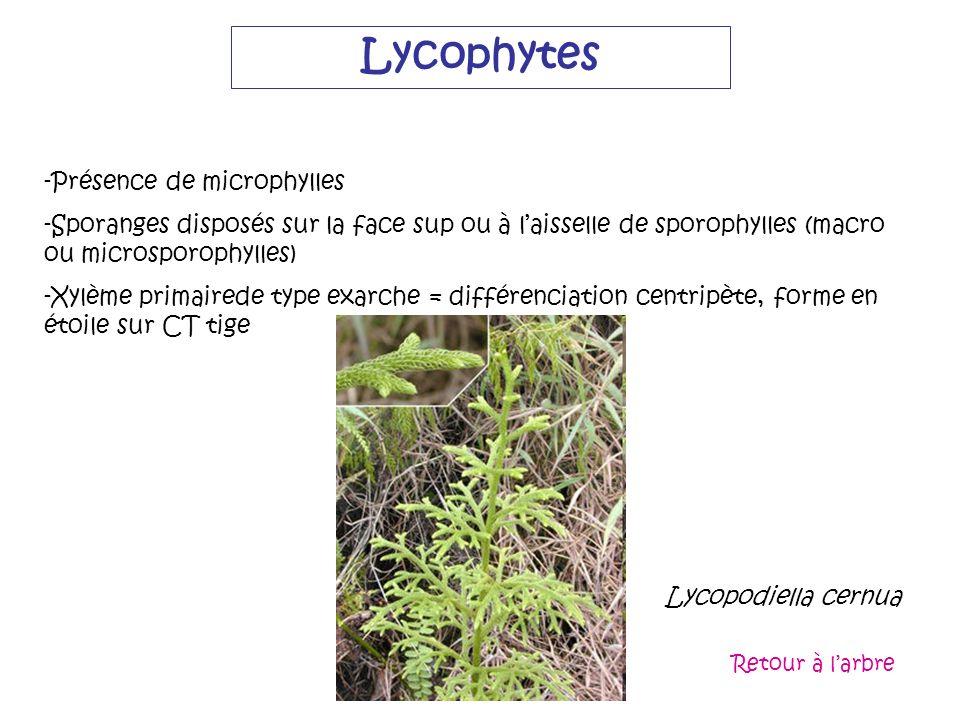 Lycophytes Lycopodiella cernua Lycopodiella cernua