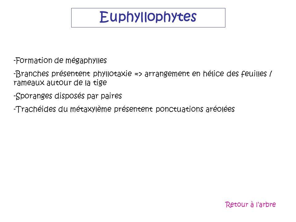 Euphyllophytes Formation de mégaphylles