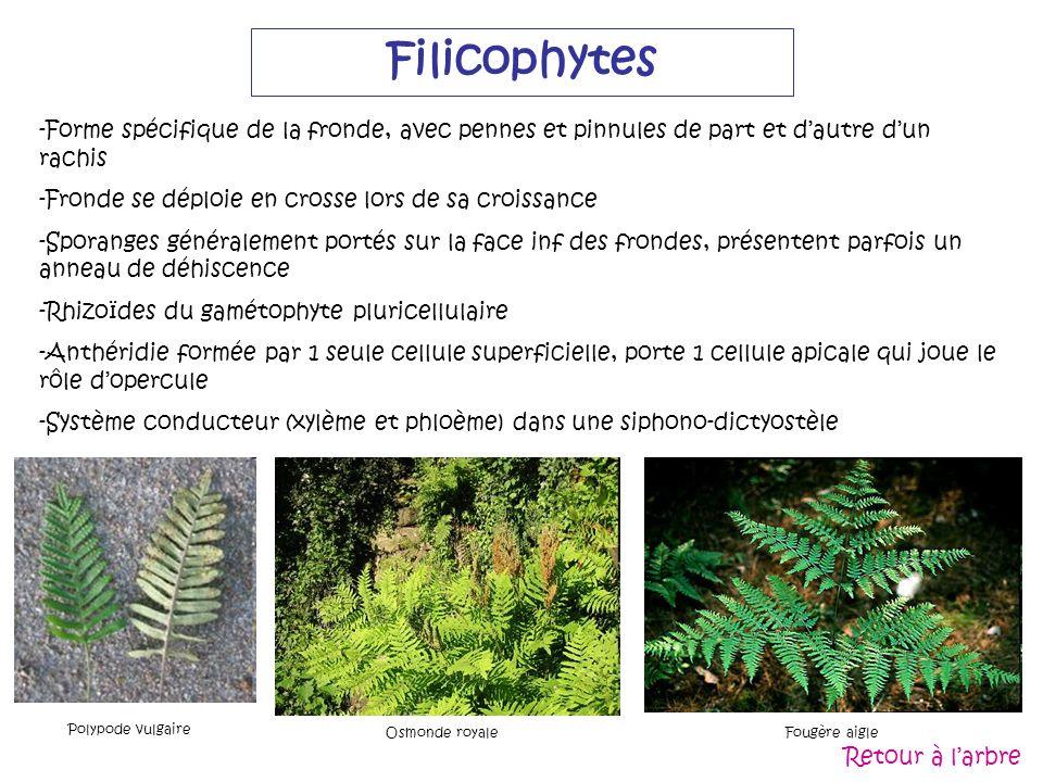 FilicophytesForme spécifique de la fronde, avec pennes et pinnules de part et d'autre d'un rachis. Fronde se déploie en crosse lors de sa croissance.