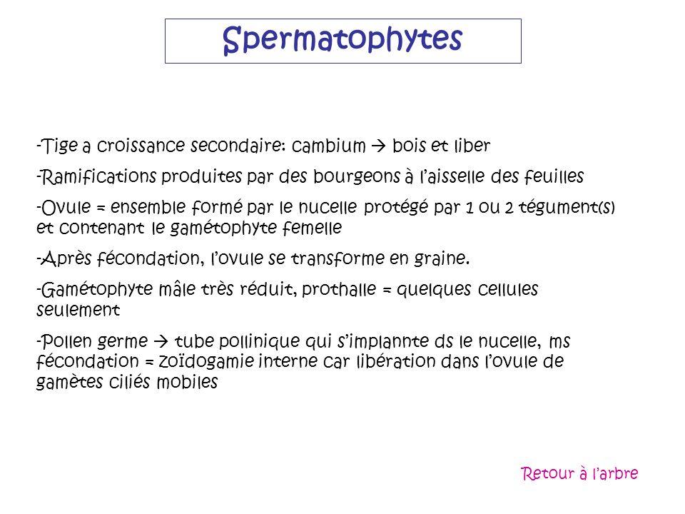 Spermatophytes Tige a croissance secondaire: cambium  bois et liber