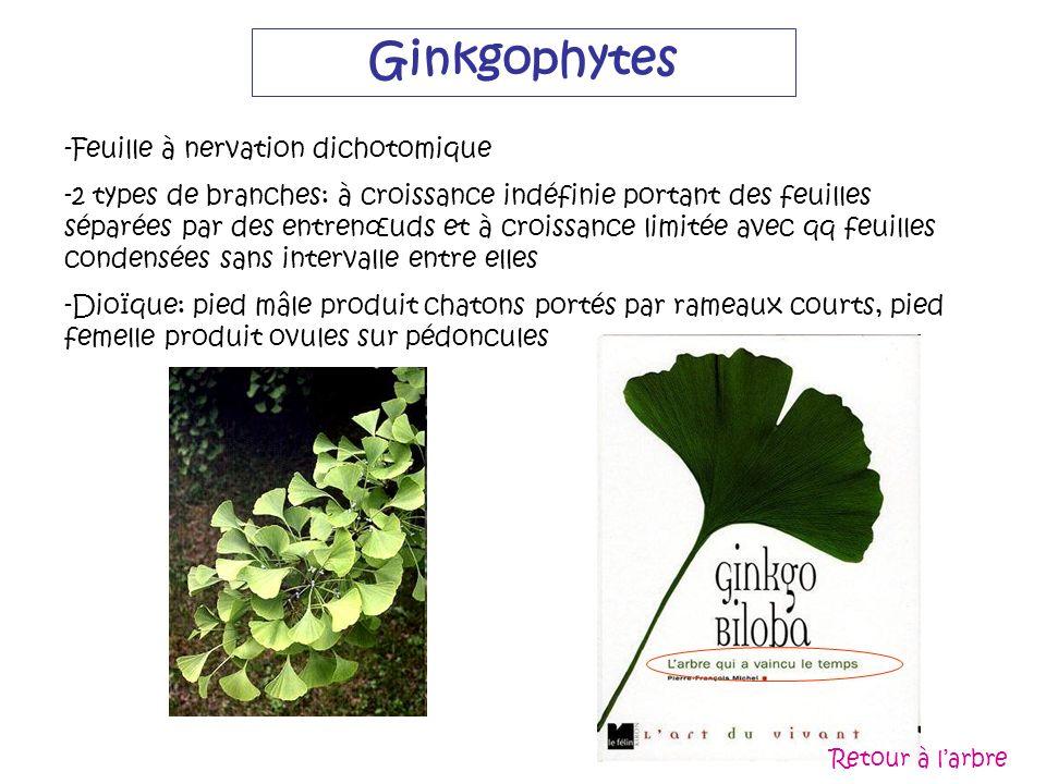 Ginkgophytes Feuille à nervation dichotomique