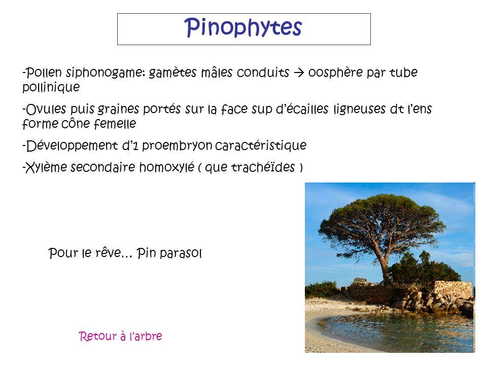 Pinophytes Pollen siphonogame: gamètes mâles conduits  oosphère par tube pollinique.