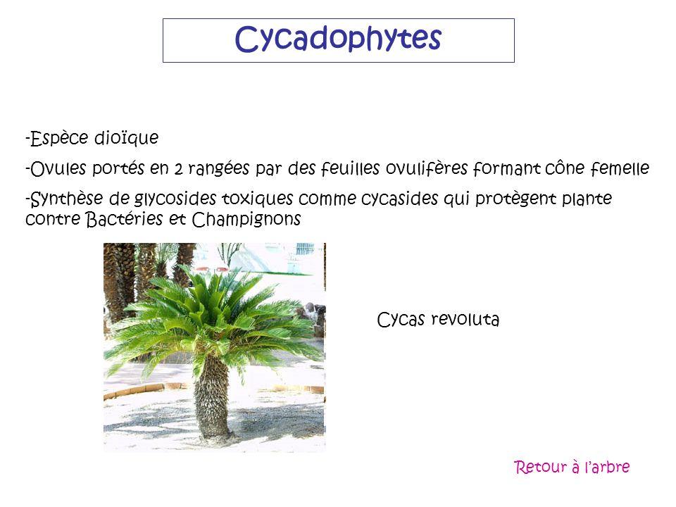 Cycadophytes Espèce dioïque