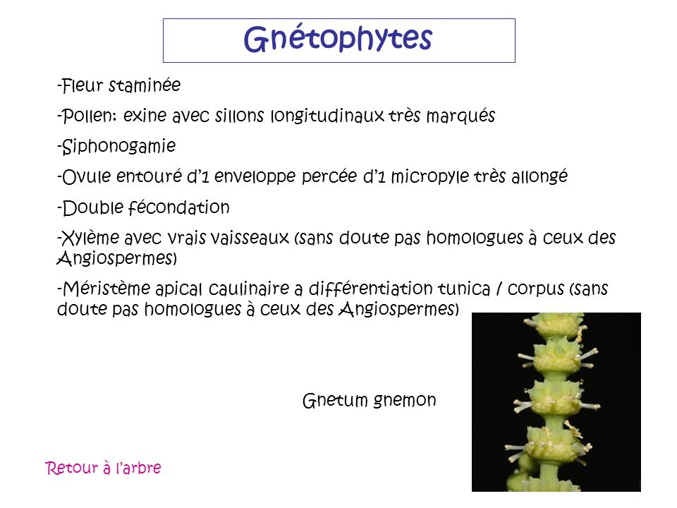 Gnétophytes Fleur staminée
