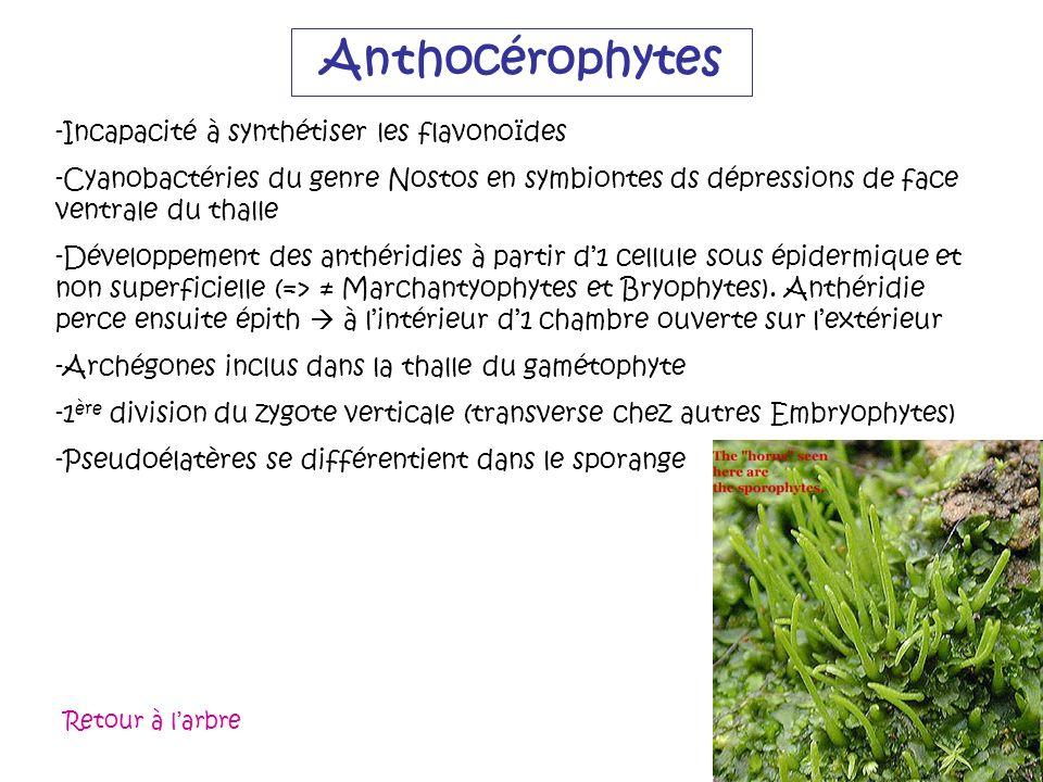 Anthocérophytes Incapacité à synthétiser les flavonoïdes